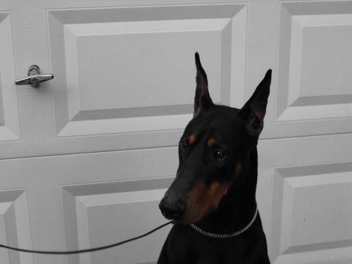 DeeRun's Leonidas Handsome Heart-Dog